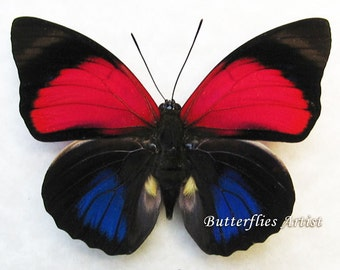Rare White Spotted Agrias Amydon Real Butterfly From Peru In Shadowbox