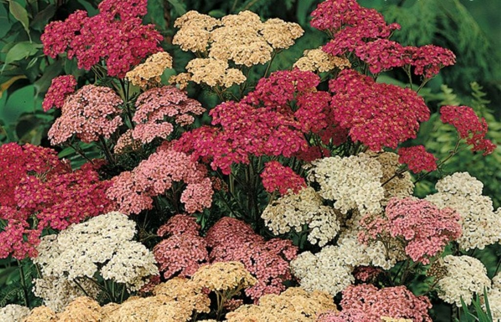 YARROW Seeds Achillea Millefolium Mix Color by CaribbeanGarden