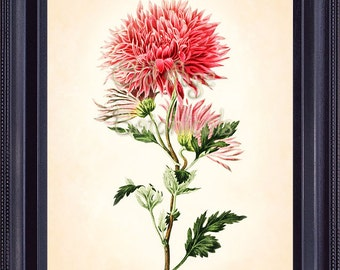 Botanical Vintage Print 8x10 Antique Art CHRYSANTHEMUM Mum Chrysanth Bright Pink Flowers Floral Botany CLARK Large Beautiful BF0507