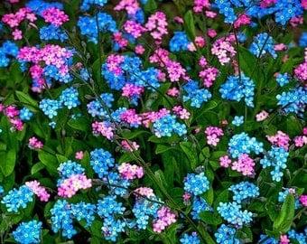 35+ Myosotis Forget Me Not Flower Seeds  Rose/Blue Mix / Perennial