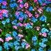 35 Myosotis Forget Me Not Flower Seeds  Rose/Blue Mix / Perennial
