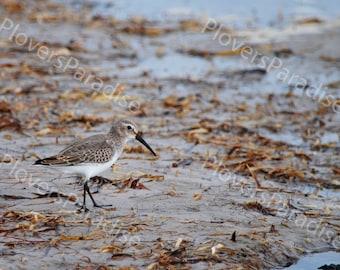 Dunlin Photograph // Shorebird Photo // Bird Photo // Florida Nature Photograph Print