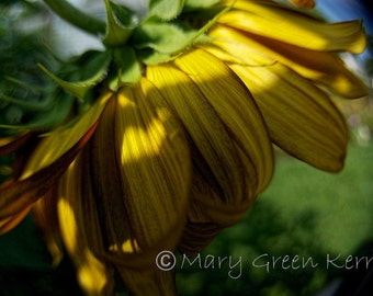 Nature Photography - Sunflower