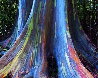 100 +  Eucalyptus deglupta Seeds. rainbow eucalyptus, Mindanao gum, .rainbow gum