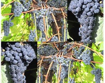 Riverbank Grape - Vitis riparia Seeds - Fragrant Flowering Vine HARDIEST SPECIES Excellent For Jellies & Wine Making ZONES 3 - 9