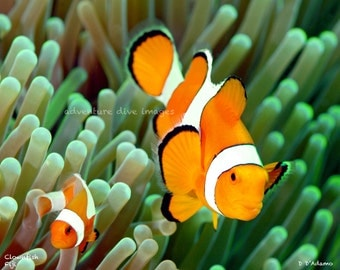 Two Clownfish original image on Aluminum -Nautical Home Decor - Ready to hang no frame needed - taken while Scuba Diving