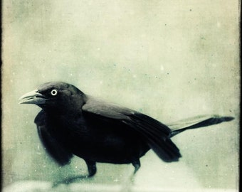 Black and White Bird Print, Crow, Raven, Halloween Bird Photo, Gothic Art, Fine Art Photography, Spooky Art, Grackle No. 7