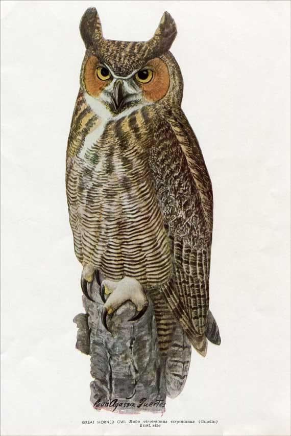 Vintage 1930 s Great Horned Owl Illustration Print for Framing by    Great Horned Owl Illustration