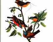 Bird Print - Painted Bunting - Vintage Art Print - Audubon Book Plate, Print - Finch - Birds of America - John James Audubon - 1970