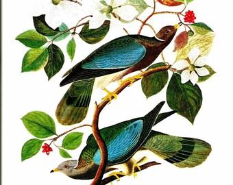 Bird Print - Band Tailed Pigeon - Vintage Art Print - Audubon Book Plate, Print - Wild Dove - Birds of America - John James Audubon - 1970s