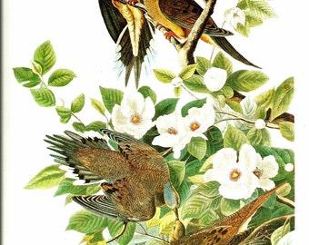 Bird Print - Mourning Dove - Vintage Art Print - Audubon Book Plate, Print - Turtle Dove - Birds of America - John James Audubon - 1970s