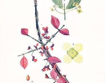 1918 Botany Print - Euonymus Alata - Burning Bush - Vintage Antique Flower Art Illustration Book Plate for Framing