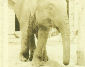 Baby Elephant At the Zoo 1920s Antique Vintage Black White Photo Photograph