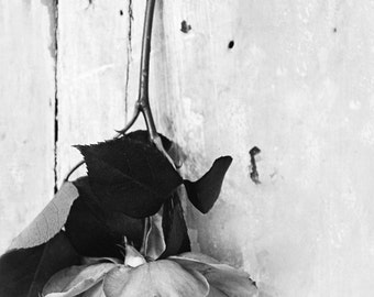 hanging garden rose - b & w - flower photography-flower photo-garden photography (5 x 7 Original fine art photography prints) FREE Shipping)