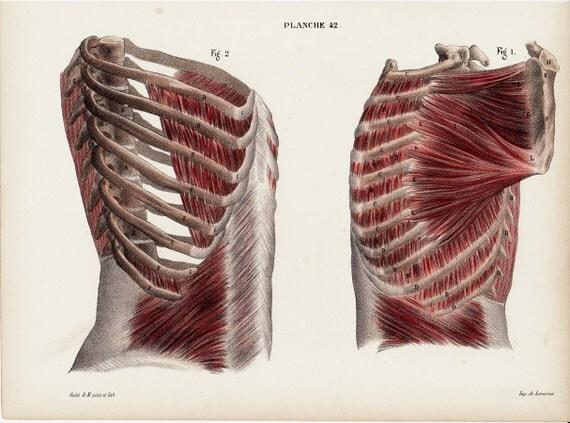 Artículos similares a 1844 Anatomía antiguos imprimir por Lemercier ...