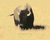 "Abstract Buffalo (3"" x 4"" framed photography) -Yellowstone National Park, Wyoming, Montana, bison, wildlife, grass, minimalist photo-"