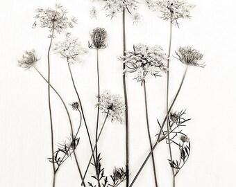 Botanical Print Queen Annes Lace Minimal Minimalist White Field Flowers Vintage Feel Flora Sepia, Fine Art Print