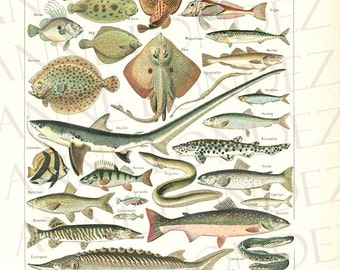1948 Vintage fish print fish kitchen decor Fish art Vintage fish poster Species of fish sea life Fish decor Fishing decor Fisherman gift
