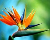 Bird of Paradise Fragrance Oil 1 oz.