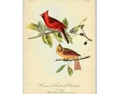 Red Cardinal Bird Art Print, Bird Poster, Red Cardinal Illustration, Botanical Print, Garden Art Wall Hanging, John James Audubon Print