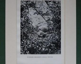 1938 Buzzard Print - Vintage Print - Bird Print - Bird Nest - Black & White Nature Photograph - Natural History Print - Ornithology Print