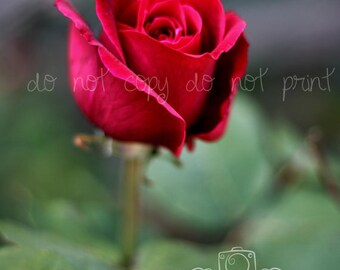 Rose wall decor, rose photograph, rose photography, red rose picture, red rose photograph, decor for nursery, decor for girl's room