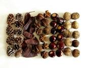 Woodland Harvest Mix.  Buckeyes, hickory nuts, walnuts, pinecones, Kentucky coffeetree pods.