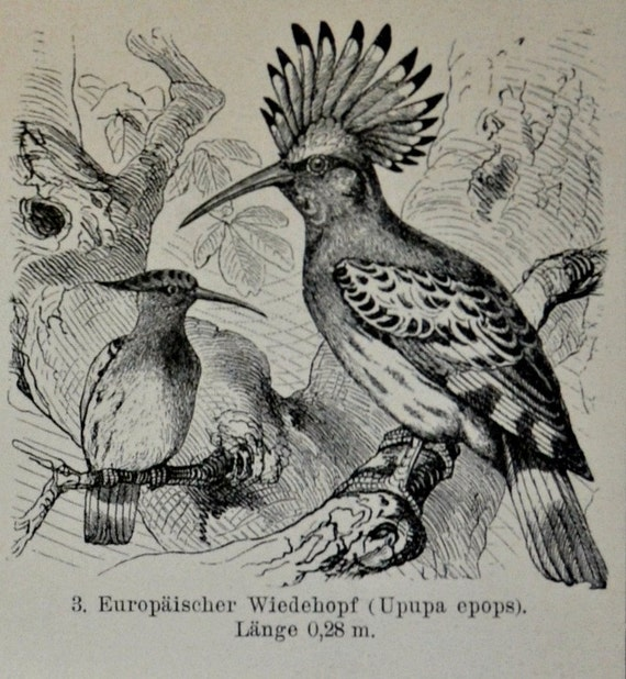 Cuckoos'  print. Natural history engraving.Old book plate,1901.Ornithology. 113 years lithograph. 9'6 x 6'2 inches.