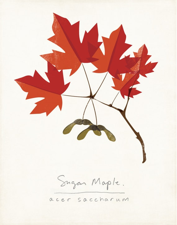 Sugar Maple Autumn Leaves Botanical Print