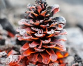 Pinecone - 5x7 nature photograpahy - campfire winter glow