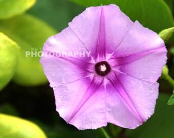 Superb Vibrant Purple Flower - Hawaiian Garden - Hawaii - Maui