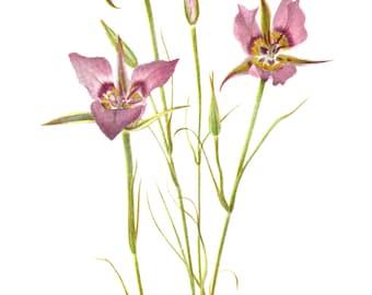 Flower Print - Star Tulip - Vintage Art Print - Botanical Book Plate, Print - Wild Flowers of America - Golden Bowl - Mary Vaux Walcott