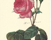 vintage botanical print by Pierre Redoute of Rosa Centifolia Bullata, digital image no. 738