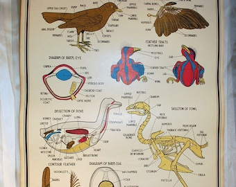 vintage 1941 school science chart - chart 6947 Zoological Smallwood for Welch page 23 Chordata Birds
