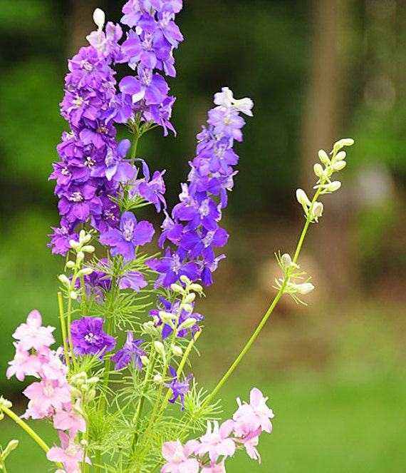 Flowers Similar To Lilies: Items Similar To Seeds Flower Larkspur Purple Pink Garden