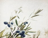 "Nature photography - gray blue - sage green - neutral plant nature print - Olive botanical wall art - fine art photography  ""Olive Branches"""
