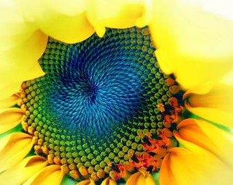 Solar Energy . vibrant bold colorful nature sunflower macro photograph visionary wall art,office,home blue yellow sunny happy art spring