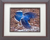 Photograph Portrait Of A Blue Jay Nature