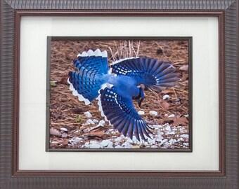 Nature Photograph Bird Photograph Photograph Portrait Of A Blue Jay Nature