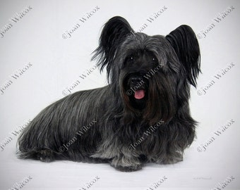 Skye Sky Terrier Dog Canine K9 Fine Art Photography Photo Print