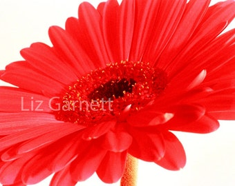 Gerbera flower photograph (UK575/01) Limited Edition of 45