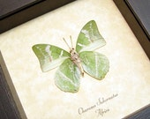 Gift Under 25 Real Framed Sage Green Leaf Mimic Ornate Green Charaxes Butterfly 8154