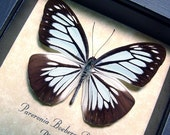 Gift Under 25 Real Wood Shadowbox Framed Powder Blue Butterfly Pareronia Boebera The Wanderer 8161