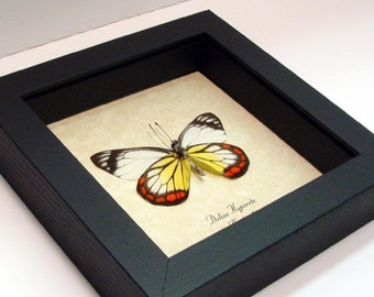 Real Framed Painted Jezebel Delias Hyparete Butterfly 2553