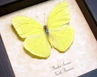 The Cloudless Sulphur Phoebis Sennae Real Framed  Butterfly 8060