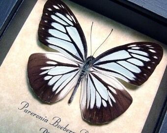 Real Wood Shadowbox Framed Powder Blue Butterfly Pareronia Boebera The Wanderer 8161
