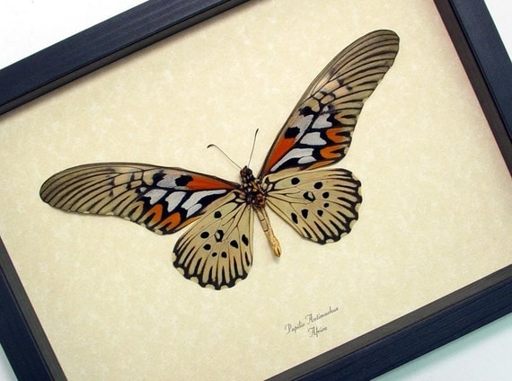 Real Framed Worlds Widest Wingspan African Butterfly Shadowbox Display 675v