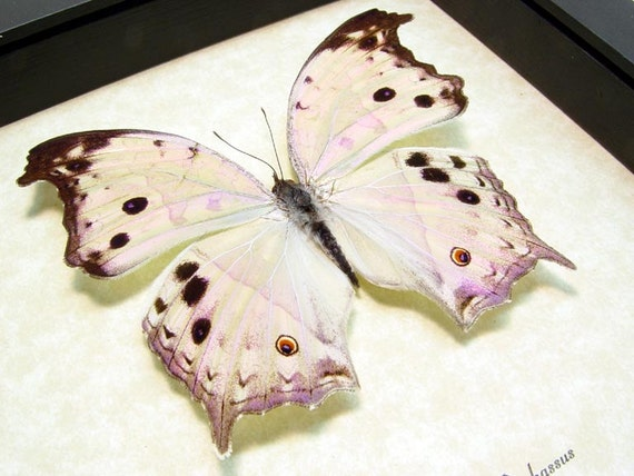 Mother's Day Gift Mother Of Pearl Real Framed Butterfly Beautiful 200