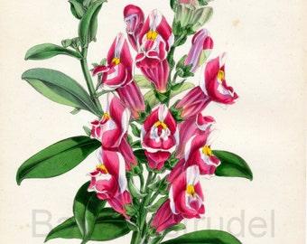 1847 Rare Vintage Botanical Print by Joseph Paxton - Antirrhinum Majus - Handcolored