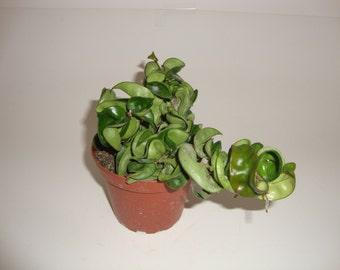 "Carnosa Compacta in 4"" pot - Hoya Hindu Rope - Exotic Angel Plant - Wax Plant"